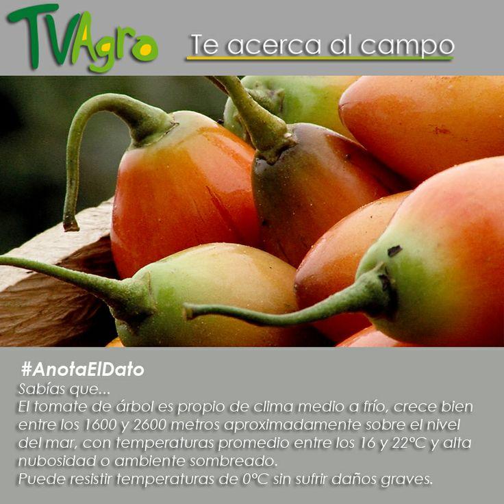 #AnotaElDato Conoce acerca del cultivo del tomate de árbol o tamarillo como también se le conoce.
