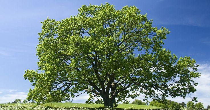 Ciclo de vida de los árboles de roble. Los dendrólogos, científicos que estudian los árboles, arbustos y enredaderas, dividen a los árboles de roble en dos grupos básicos. Uno es el grupo del roble blanco y el otro es el grupo roble rojo. Una diferencia fácilmente observable es que las hojas de roble blanco tienen lóbulos redondeados, mientras que los lóbulos de las hojas de roble rojo ...