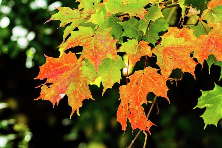 Olga Olay Photograph - Maple Leaves by Olga Olay #OlgaOlayFineArtPhotography #ArtForHome #FineArtPrints #Fall #Homedecor