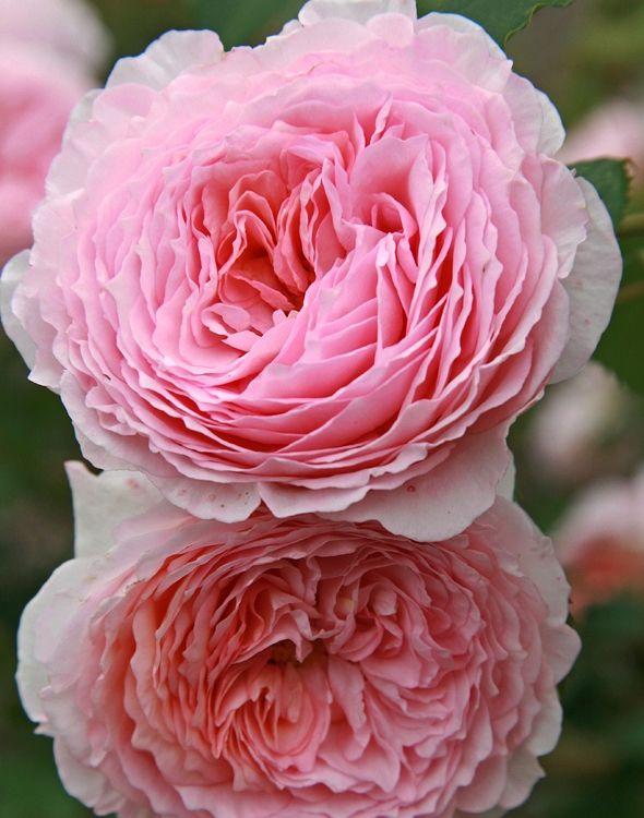 9 smukke roser til haven