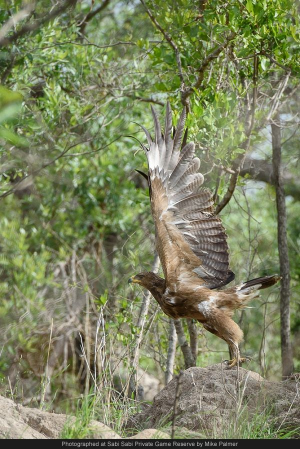 Another great reason for loving the summer months is the influx of a myriad of migratory bird species.  Here a Steppe Eagle, visiting from the Steppe Mountains in the Ukraine, took to flight when I unintentionally disturbed it while feeding on termites.
