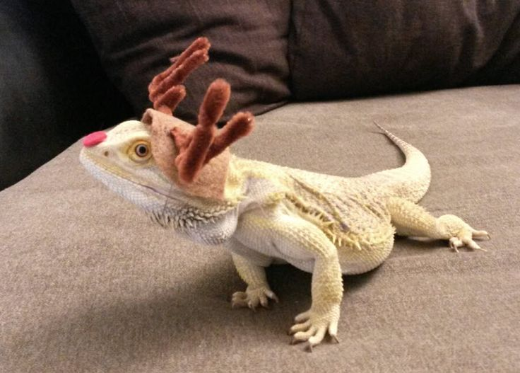 DIY Bearded Dragon Rudolph Costume - petdiys.com                              …