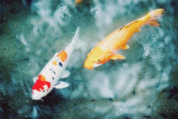 1000 images about koi and goldfish peaceful companions for Koi fish predators