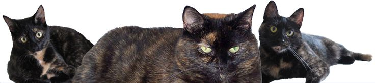 """""""Tortitude"""" – The Unique Personality of Tortoiseshell Cats  Posted by Ingrid  tortitude tortoiseshell cat personality  Tortoiseshell c..."""