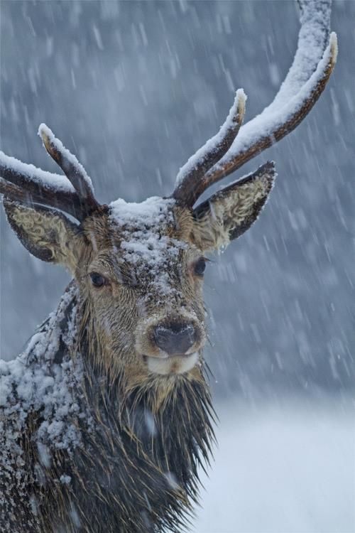 Deer in snow.  Point of interest on the left however the antler on the right draws your interest to the upper right third,,