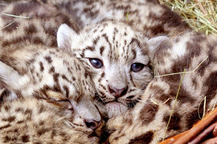 Die Schneeleoparden Jungtiere im Karlsruher Zoo sind so süß! <3 The snow leopards are so cute! #snowleopards