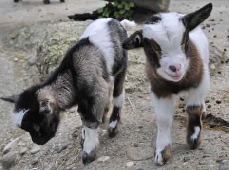 Baby goats!! Love:): Cuteness Meter, Suburban Farmyard, Google Search, Couple Pygmy, Cuddly Snuggles, Baby Animals, Baby Goats, Furry Friends