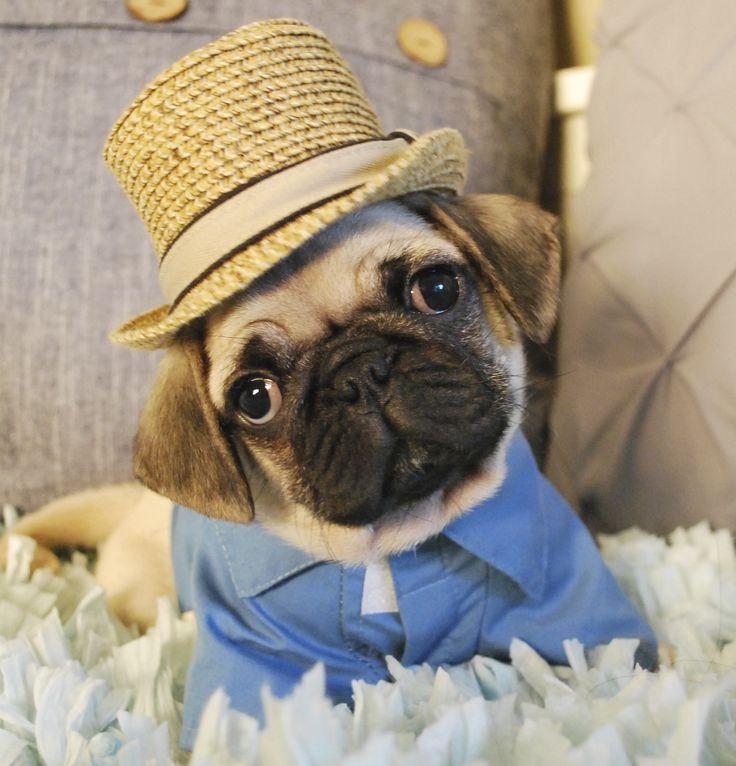 buy a pug puppy online