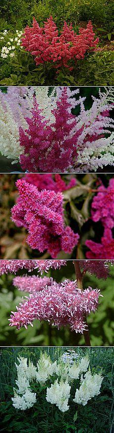 Астильба: посадка, выращивание, уход.   Цветоводы ценят астильбу за длительное, пышное цветение, теневыносливость и стойкость к высокой влажности грунта. Раскидистый куст с листьями на красноватых черенках эффектно выглядит не только во время цветения, но и в период всего садового сезона.