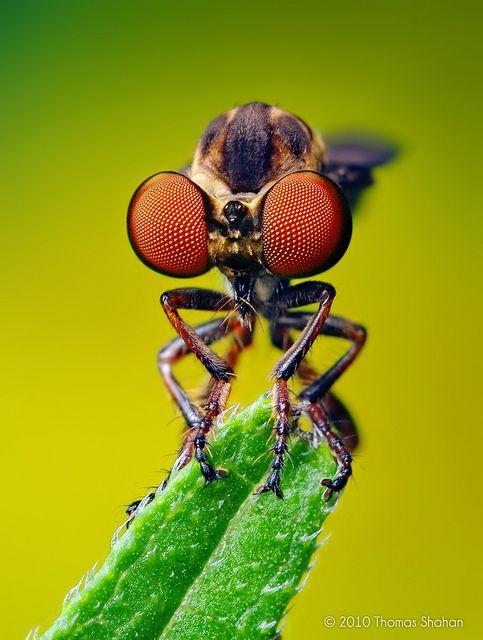 Robber Fly (Holcocephala fusca) by Thomas Shahan