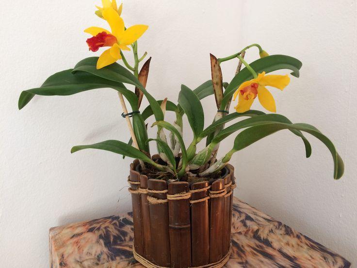 Catleia orquídea