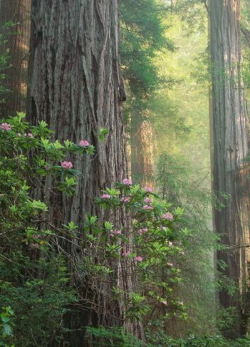 Redwood trees (Sequoia sempervirens) and Rhododendron plants in fog - Randy Wells