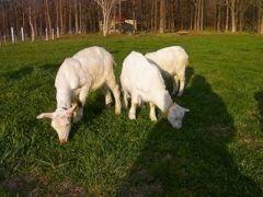 蔵王を観光するなら蔵王酪農センターチーズ工場はおすすめだよ ここはチーズ好きには堪らないスポット 沢山のチーズが揃っていてクラッカーをつけて試食することができるんだ しかも食べ放題状態だからお得だよね 牛やヤギなんかの動物もたくさんいるから家族でお出かけするにはピッタリなスポットだよ tags[宮城県]