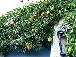 Afbeeldingsresultaat voor Passiebloem (Passiflora)