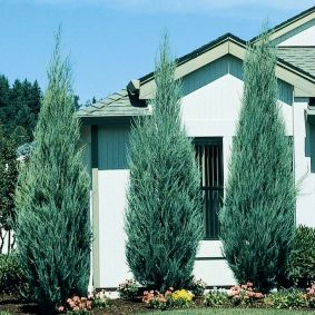 Skyrocket Juniper - Fast grower to 15 to 20 ft. tall, 2 to 3 ft. wide.  -- This thin columnar Juniper fits into very difficult places such as narrow side yards between homes. A super windbreak plant in both cold or hot climates. A hardy alternative to Italian Cypress in Mediterranean-inspired landscapes. Try planting in matched pairs or on four corners of a central courtyard. Makes a super vertical accent in mixed conifer gardens.