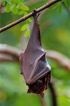 Los quirópteros (murciélagos) son los únicos mamíferos con capacidad para volar