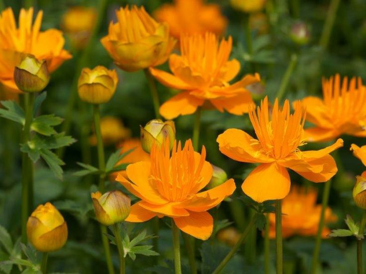 Trollius 'Dancing Flame' - a punchy orange flower that still has a delicacy because of the flicker of narrow upright petals in the middle.