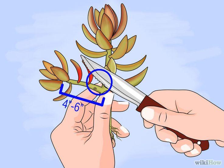 Image intitulée Propagate Succulent Plant Cuttings Step 5