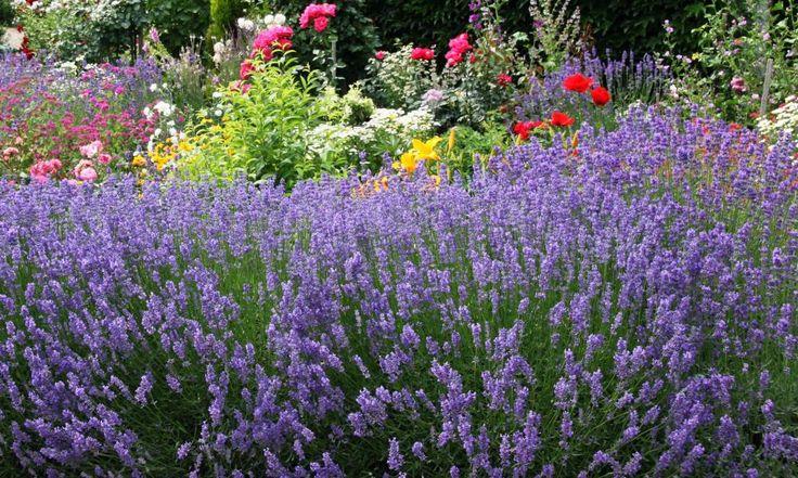 Lavendel (Lavandula) blüht wochenlang. Sobald jedoch die letzten Blütenkelche welk sind, sollte man die langlebigen Sträucher zurückschneiden
