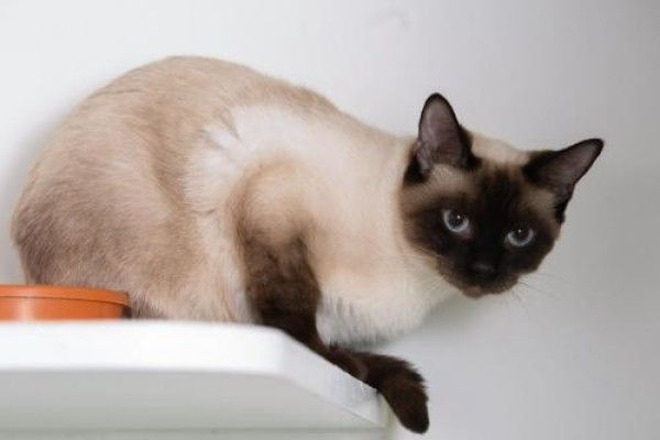 Catalie Domestic Short Hair Siamese Cat For Adoption In Ashland Wisconsin Cat Adoption Domestic Short Hair Cats