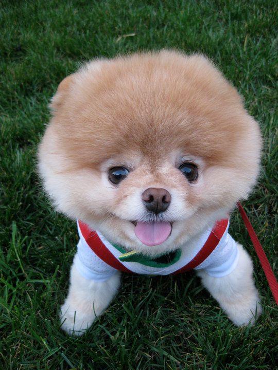 Boo the Facebook Dog :: Cutest Dog in the World, Teddy Bear Pomeranian
