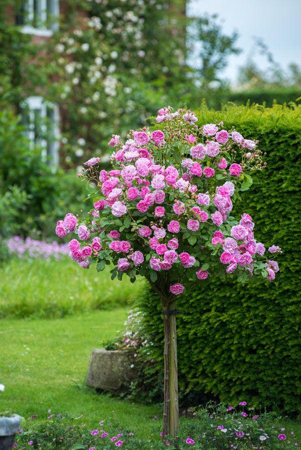 Standard Roses - Gallery