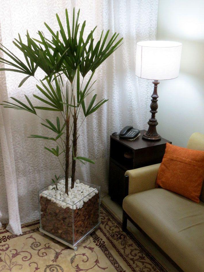 Palmeira Ráfia Plantas para dentro de casa