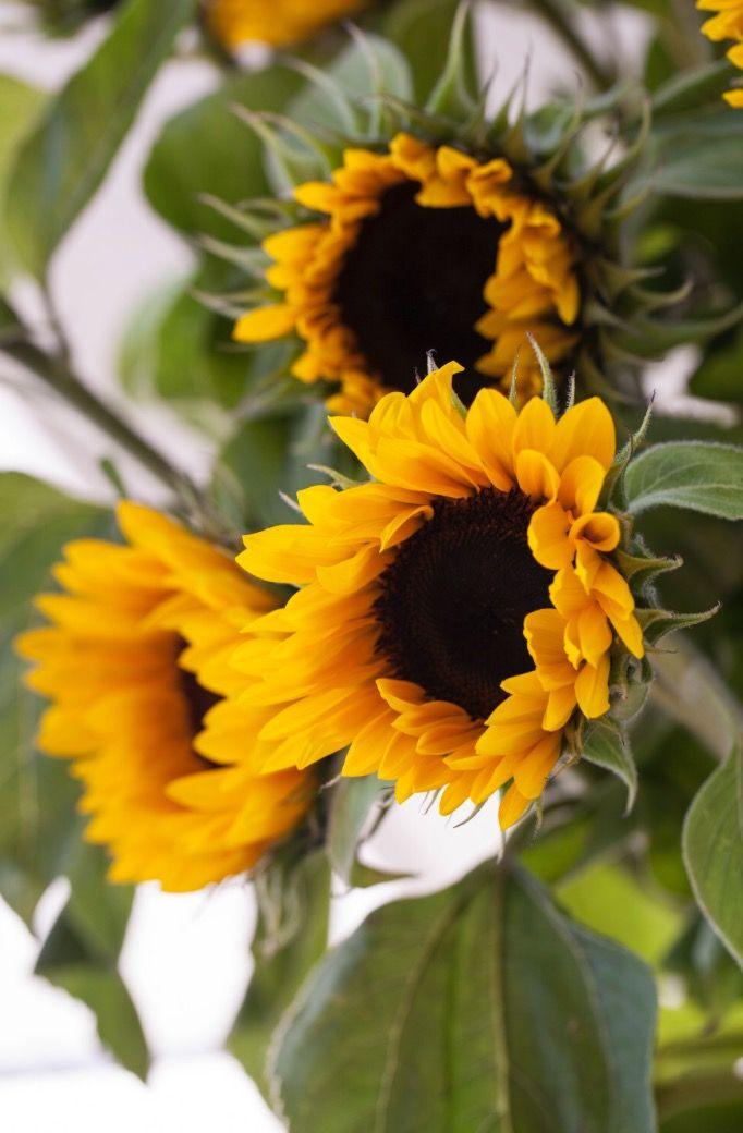 Solsikker, Solvendel ~ Helianthus annuus
