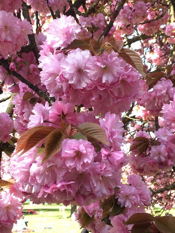 Bouquets de fleurs de cerisiers du Japon @SceauxMP #printemps http://www.pariscotejardin.fr/2017/04/bouquets-de-fleurs-de-cerisiers-du-japon/