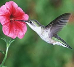 118 Best Images About Hummingbirds Butterflies