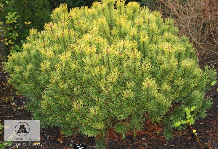 Pinus mugo 'Ophir'  - Сосна горная 'Офир'. Карликовый сорт сосны, шаровидной формы, с возрастом приобретает кеглевидную. Хвоинки собранные по две (как и у всех сортов горных сосен), летом зелёные, зимой окрашены в золотисто-желтый цвет. Небольшие требования к почве. На солнечные места.