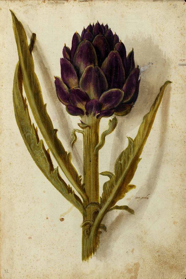 Ulisse Aldrovandi (1522-1605), Magnum opus, artichoke, Artischocke, Tavole vol. 004 Unico, Universita di Bologna