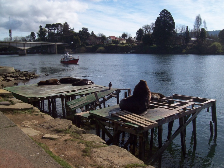 Sea lion - Costanera - Valdivia, Chile