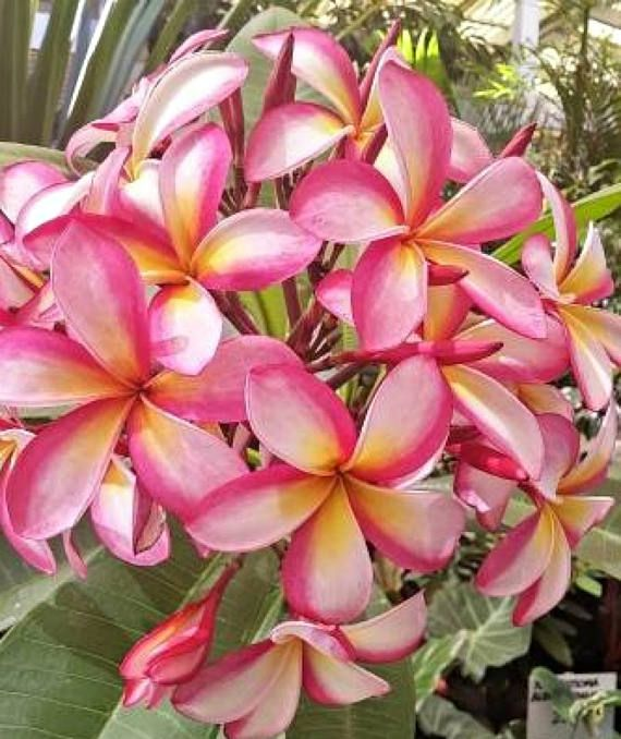Tropical Plumeria Plant Seedling Plant Beautful Pink Flower With Certificated Easy Fragrant Container Flowers Plant Seedlings Plumeria Tree