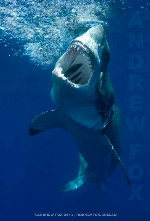 Great White shark, so far I haven't seen this view when I have snorkeled