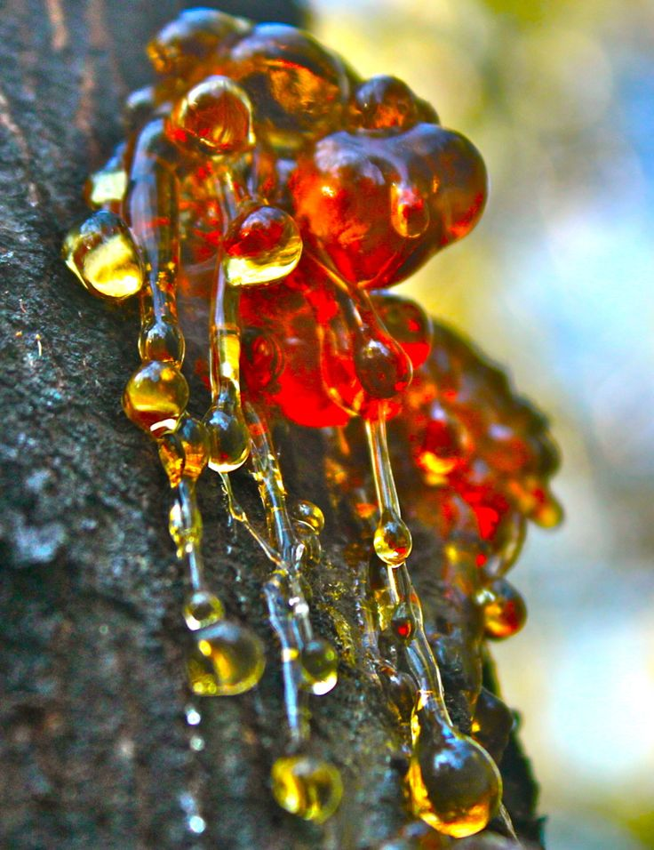 Resin seeping from a tree trunk