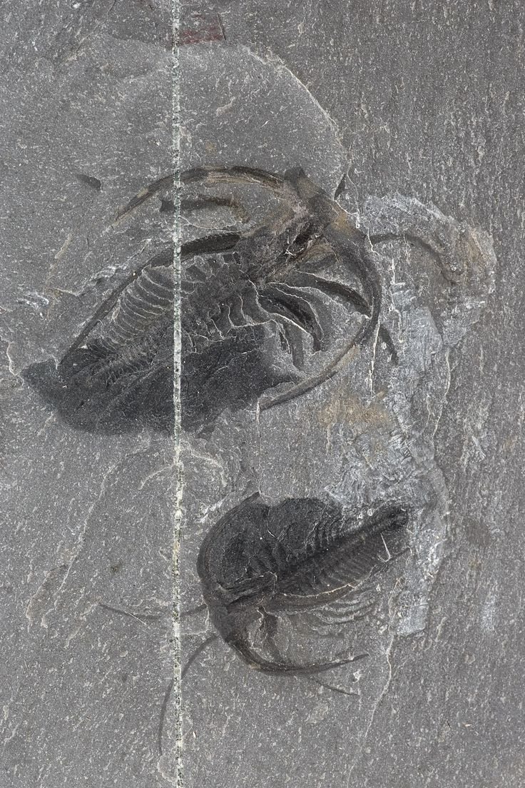 The most common species to be found in the Burgess shale is Marrella splendens, with 15,000 recorded fossils. It was a small marine arthropod that barely reached 20 mm in lenght. It is recognized by its head shield topped by four backwards-pointing spikes. -Gallery of the Evolution- (Photo: Royal Belgian Institute of Natural Sciences, RBINS)