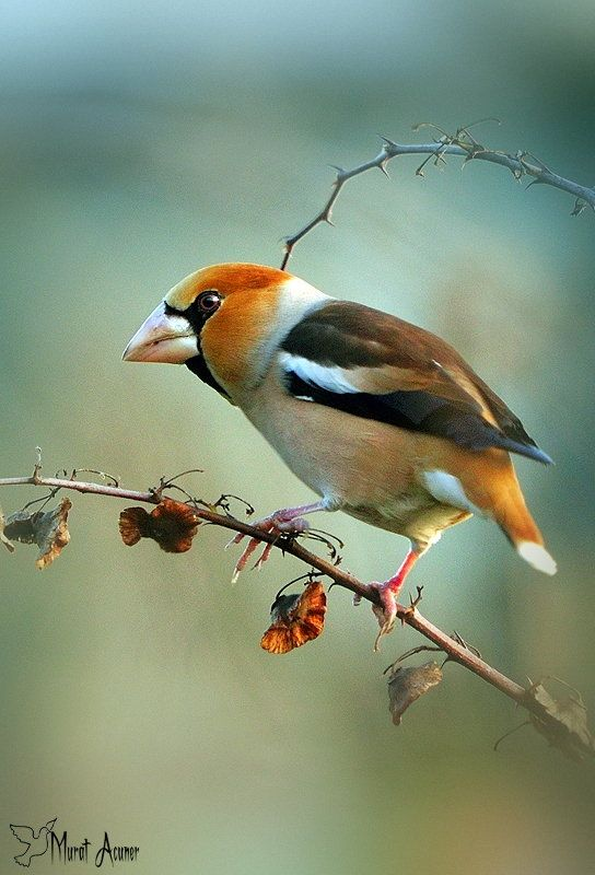 Kocabaş (Coccothraustes), chaffinches (Fringillida) family, forming the large-beaked bird species from the genus Coccothraustes common name.