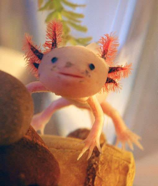 Your next pet? The sweet-faced axolotl looks almost like a made up creature. But he is, in fact, a very real kind of salamander.  The axolotl is taking up residence in more and more human homes -- happy in a large, cool, gravel-bottomed tank where his owners can observe his activities.