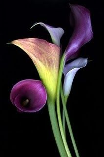 Purple Calla Lilies. I love these flowers!!!
