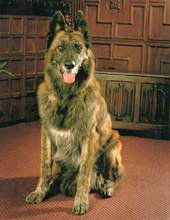 Our Belgian Shepherd dog Harley, who had a great life and passed away peacefully aged 15 - he was part of the family, and a very good dog!