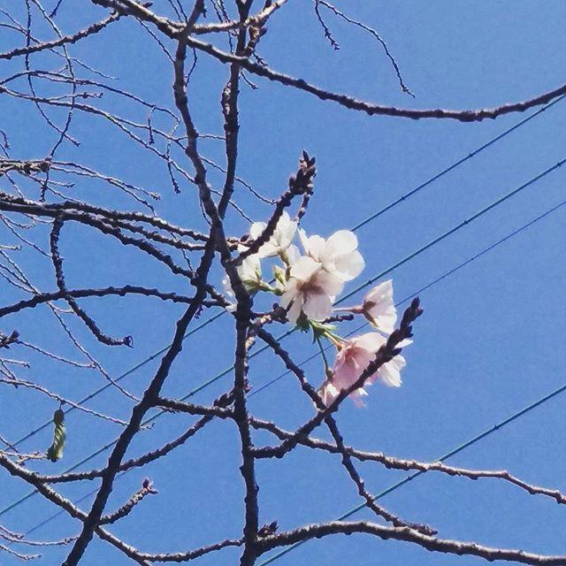 【k0a2n2a8】さんのInstagramをピンしています。 《季節全然違いますけどーーーーー!!!😨😨😨😨😨 うちの近くの桜ちょっと咲いちゃってますけどー?! #japan#sakura#季節外れ#桜#cherryblossom #flower#先走りすぎ#昔の男しかも2人から同時期に連絡くるとか怖い#なにか悪いこと起こる予感#まだ冬になったばかりですよ#春はまだ先#桜並木》