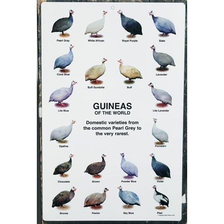Guineas of the World Poster Chicks and Game Birds from