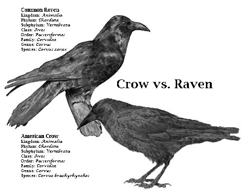 Raven vs crow vs grackle - photo#1