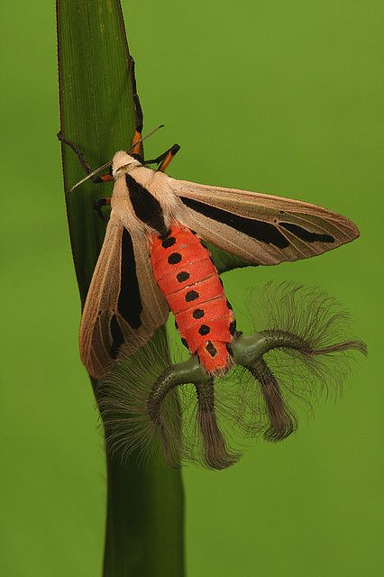 Creatonotos gangis is a species of arctiid moth found in South East Asia and Australia. The hairy appendages are the everted coremata (male scent organs) used during courtship to release pheromones.