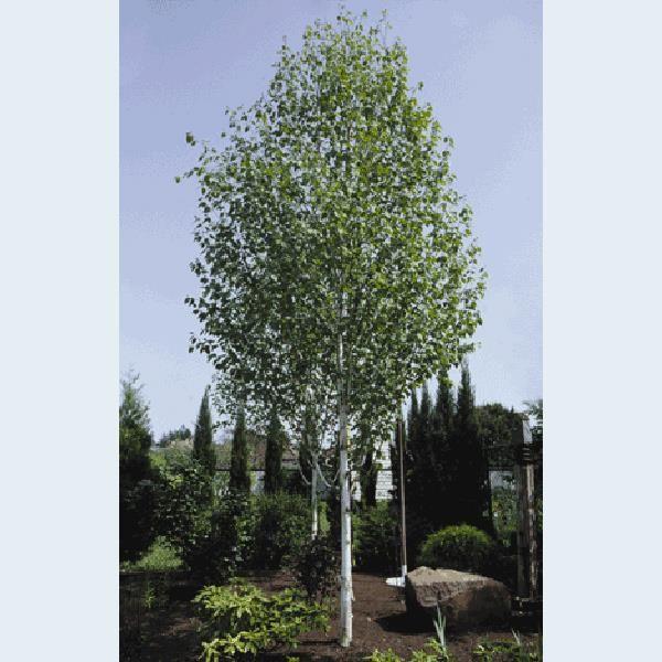 Betula Jacquemontii Trinity College - White stem Silver Birch Tree
