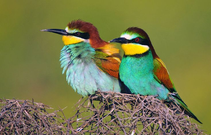 Şahlûr-33 - European bee-eater - Wikipedia