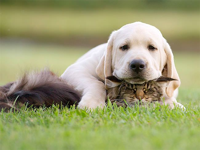all played out...  | golden lab puppy on bff cat playmate & handy pillow.