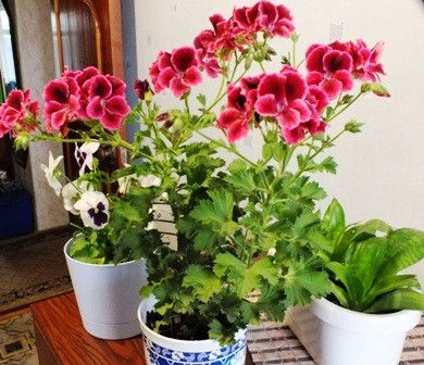Для многих цветы — это целая жизнь. Цветы сопровождают ключевые моменты нашей жизни. Секрет роскошного комнатного цветника прост: растения нужно хорошо подкармливать, иначе не дождаться ни пышной листвы, ни хорошего цветения. Жесткая «диета», когда растение длительное время испытывает нехватку питательных веществ, обычно приводит к заболеванию – ведь сил для сопротивления у растения нет. Но как …