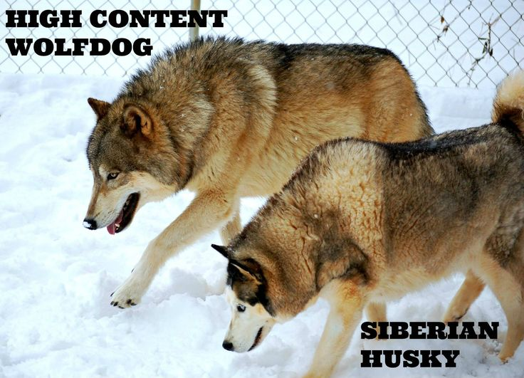 7 best Wolfdog Education. images on Pinterest   Wolf dogs ...